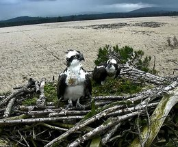 Will it be fifth year running for osprey chicks at Foulshaw Moss?