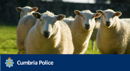 6 sheep killed after dog worrying incident on Walney
